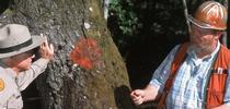 Sudden oak death bark sampling. (Photo: Evett Kilmartin) for ANR News Blog Blog