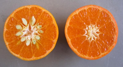 W. Murcott mandarin (left) and Tango (right).