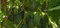 GEM avocados are tear-drop shaped. for ANR News Blog Blog