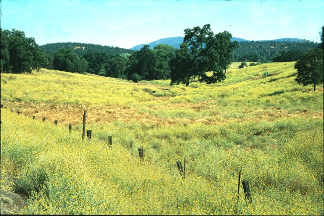 A severe infestation of yellow starthistle in Calaveras County.