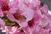 A honeybee in a nectarine blossom.