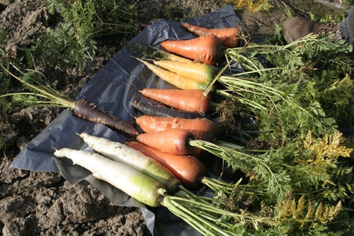 Carrots come in various colors and shapes.