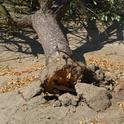 A fallen almond tree that was weakened by Ganoderma fungus. (Photo: Bob Johnson)