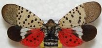 Spotted lanternfly is a striking insect. (Photo: USDA) for ANR News Blog Blog
