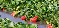 Complying with social-distancing protocols to prevent coronavirus spread will likely slow the strawberry harvest in California. (Photo: Evett Kilmartin) for ANR News Blog Blog