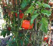 Tomatoes can be planted in late March, UC Master Gardener Yvonne Savio told the LA Times, but wait until April to plant summer crops like eggplant, peppers and cucumber.