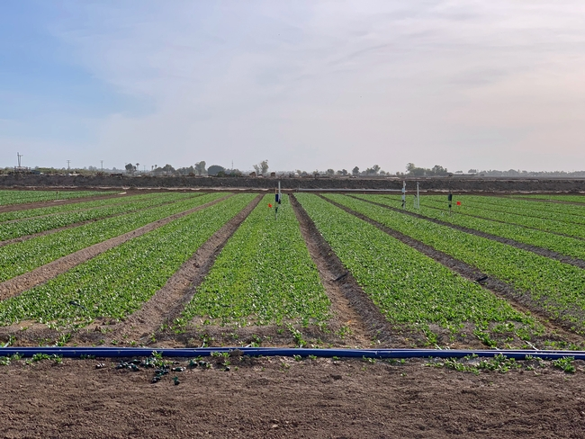 Early research results show that drip irrigation reduces downy mildew in organic spinach dramatically.