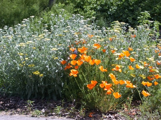 Yarrow and California poppies growing in the Mariposa MG demonstration garden.