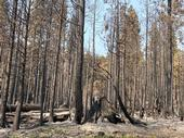 A dense stand pine trees and firs burned by the 2020 Creek Fire.