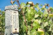 The cool spring slowed grape growth and caused mildew and fungus problems.