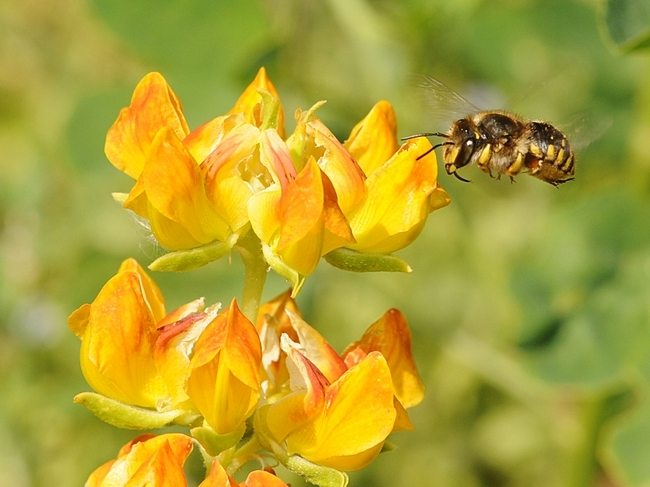 Female wool carder bee (Anthidium manicatum) heads for lupine at the Harry H. Laidlaw Jr. Honey Bee Research Facility, UC Davis. (Photo by Kathy Keatley Garvey)