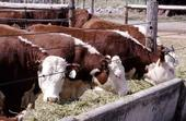 Twenty-nine percent of beef cattle deaths are associated with bovine respiratory disease.