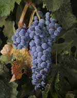 A cluster of merlot winegrapes.