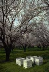 Bee hives in almond orchard.