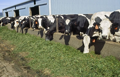 Alfalfa is an important part of a lactating cow's diet.