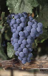 A cluster of Malbec winegrapes.