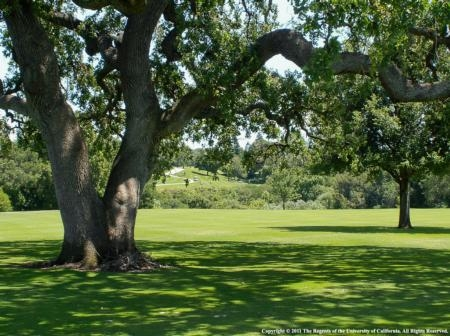 Although shade-tolerant turf can be used under oaks, it is best to replace the turf with mulch.