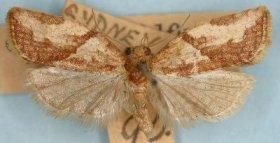 CDFA photo of light brown apple moth.