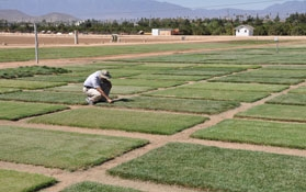 Someone examines a turfgrass research plot.