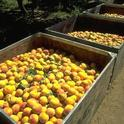 California's cling peaches are facing competition from canned imports.