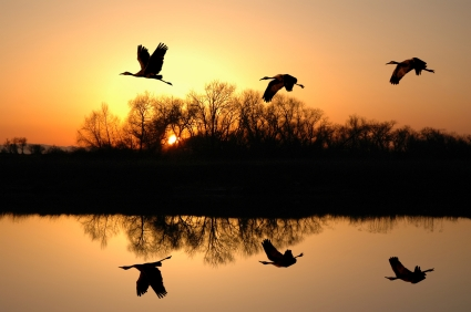 Cranes flying over Delta water at sunset.