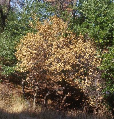 Dramatic increase in Northern California Sudden Oak Death.