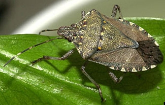 Adult brown marmorated stink bug. Photo by David R. Lance, USDA