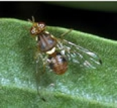 Olive fruit fly.