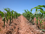 Corn growing in a CT production system.
