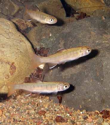 Wild coho salmon fry in Felta Creek, part of the Russian River watershed. (Photo: California Sea Grant)