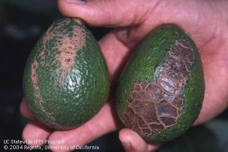 Avocado fruit with mechanical injury from wind causing fruit abrasion.