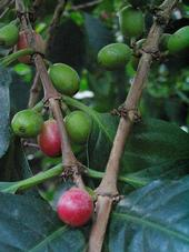 Santa Barbara coffee beans take up to one year to mature on the tree, compared to the 6 to 8 months it takes in tropical regions.