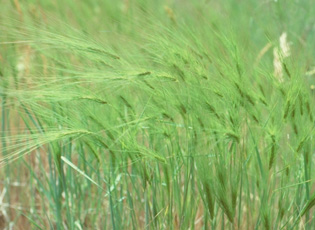 Medusahead (USDA photo)
