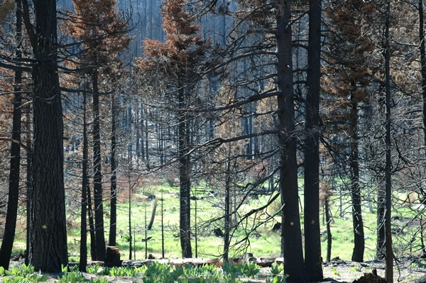 Dry winter weather inhibited forest recovery after the 2007 Angora Wildfire near Lake Tahoe.