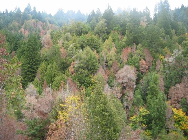 Sudden oak death disease has killed over a million trees in California.