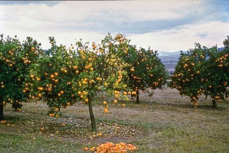 Citrus tree with HLB disease.