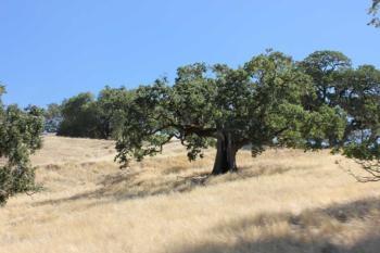 Hopland REC oaks
