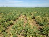 Garbanzo field with alfalfa mosaic virus, May 2015, Yolo County.