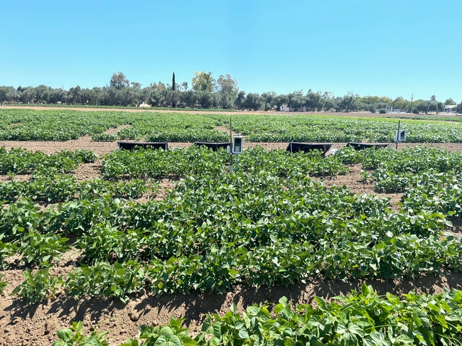 Insect monitoring sensors placed in the field at the UC Davis Dry Bean nursery, 2021.