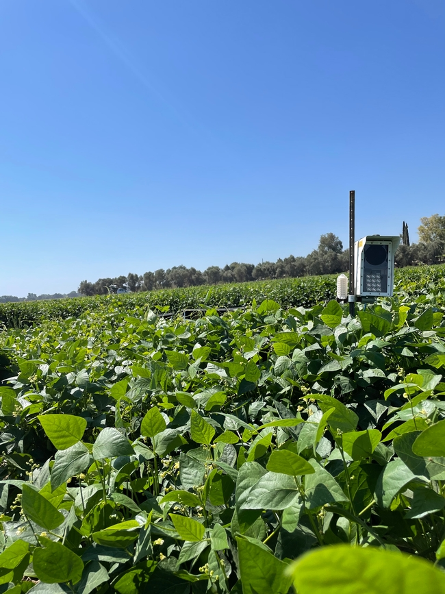 An insect monitoring sensor used for counting Lygus bugs and insect natural enemies in a dry bean field, UC Davis 2021.