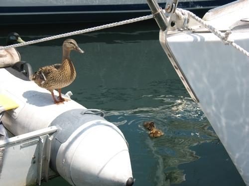Mallard live-aboards in a San Diego Bay marina
