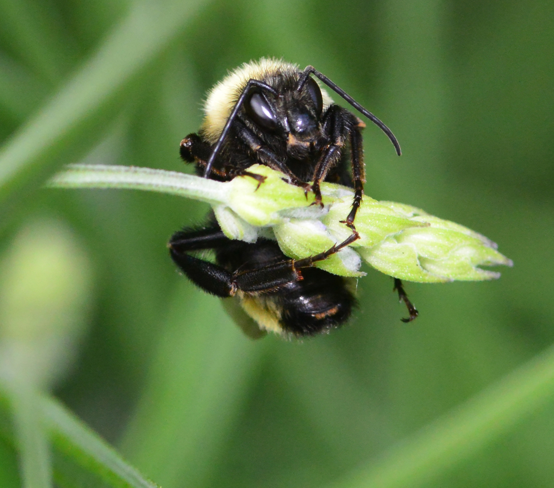 Black Bumble Bee >> Sleeping In The Lavender Bug Squad Anr Blogs