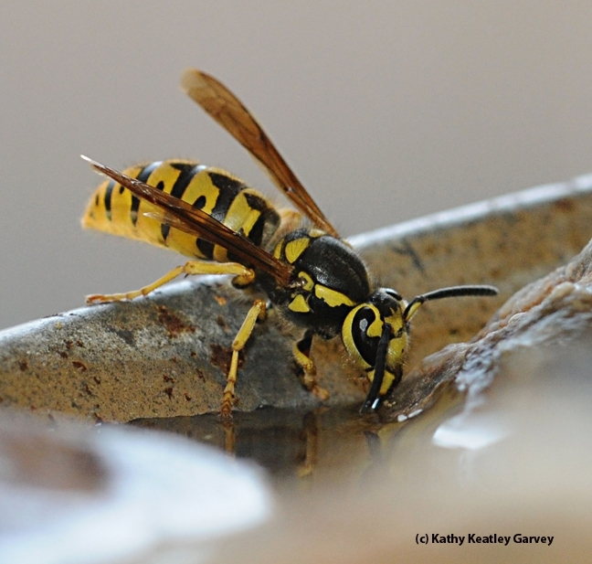30a076073b00 Yellowjacket or Paper Wasp  - Bug Squad - ANR Blogs