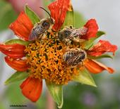 Longhorned bees--Melissodes (possibly M. robustior) slumbering on a Mexican sunflower. (Photo by Kathy Keatley Garvey)