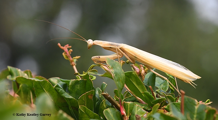 How To Find A Praying Mantis Bug Squad Anr Blogs