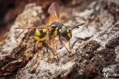 This winning image of a wasp mimic, Ceriana tridens, ovipositing in the fissures of a tree, will be showcased at the Entomological Society of America meeting in November in Vancouver,B.C. (Photo by Alexander Nguyen)