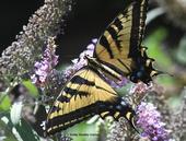 A Western tiger swallowtail (Papilio rutulus) nectaring on a butterfly bush (Buddleia davidii). (Photo by Kathy Keatley Garvey)