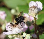A bumble bee, Bombus vosnesenskii, nectaring on a blackberry blossom in Berkeley. (Photo by Kathy Keatley Garvey)