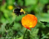 A yellow-faced bumble bee, Bombus vosnesenkii, heading toward a California golden poppy. (Photo by Kathy Keatley Garvey)