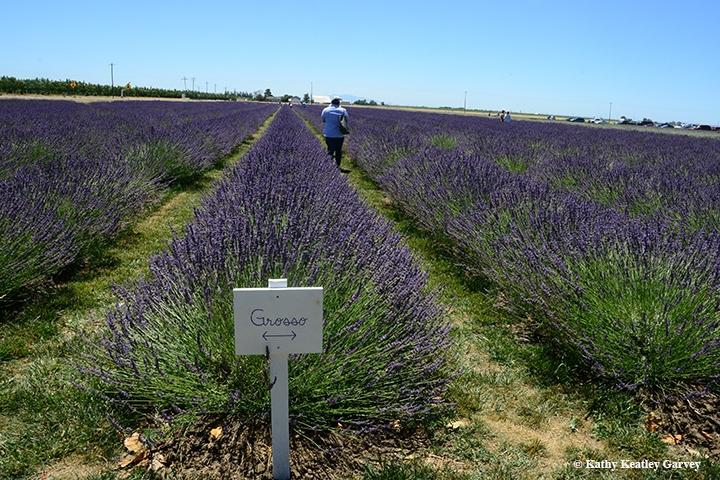 Lovin' the Lavender - Bug Squad - ANR Blogs